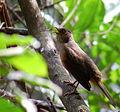 Flickr - Dario Sanches - SABIÁ-LARANJEIRA (Turdus rufiventris) (14).jpg