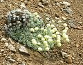 Flickr - brewbooks - Eriogonum ovalifolium var. nivale (1).jpg