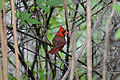 Flickr - ggallice - Northern cardinal (1).jpg