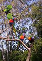 Flock-of-Rainbow-Lorikeets.JPG