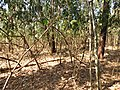 Floresta estacional na época de seca - panoramio.jpg