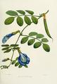 Flower-clitoria-ternatea.png