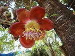 Flower of Cannon Ball Tree.JPG