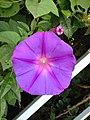 Flower of Ipomoea nil in Higashi, Fukuoka.jpg