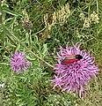 Flowers in Skansen Kielce Tokarnia (5).jpg