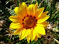 Flowers of Iran گلهای ایران 50.jpg