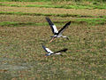 Flying Asian Openbill or Asian Openbill Stork (Anastomus oscitans), seen on the way to Madikeri.jpg