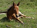 Foal on Beaulieu Heath, New Forest - geograph.org.uk - 456942.jpg