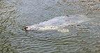 Focario de focas grises (Halichoerus grypus), Hel, Polonia, 2013-05-23, DD 11.jpg