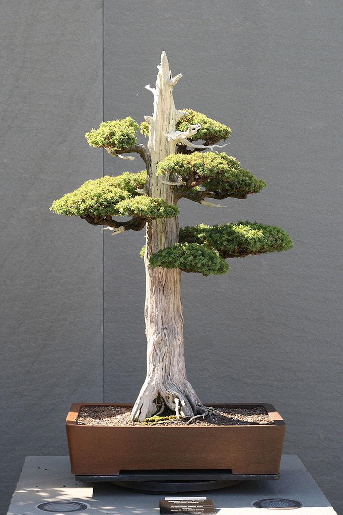 File:Foemina Juniper bonsai 224, October 10, 2008.jpg ...