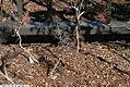 Foeniculum vulgare Purpureum 4zz.jpg