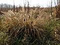 Fountain Grass (30302639914).jpg