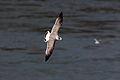 Franklins Gull (Leucophaeus pipixcan) (6383399481).jpg