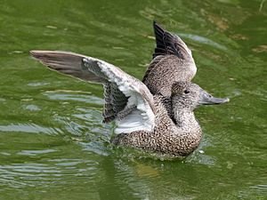 Freckled duck - Female at Sylvan Heights Waterfowl Park in Scotland Neck, North Carolina
