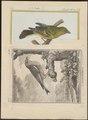Fringilla chloris - 1700-1880 - Print - Iconographia Zoologica - Special Collections University of Amsterdam - UBA01 IZ16000071.tif