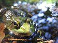 Frog eyes closeup.JPG