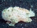 Frogfish (6 cm).png