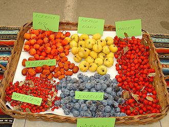 Crataegus azarolus - Orange and yellow azarole fruits displayed alongside common haws, sloes and jujubes.