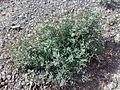 Fujairah Dibba 1501200713142 Tephrosia apollinea.jpg