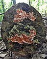 Fungi - Kitchener, Ontario 09.jpg