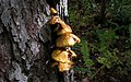 Fungus on an upright tree.jpg