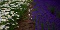 Furano flowers (7662405550).jpg