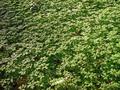 Géranium Herbe à Robert (Geranium robertianum)LambersartFr.png