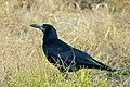 Gačac (Corvus frugilegus) Rook.jpg