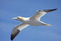 definition of gannet