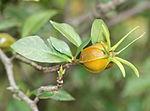 Gardenia jasminoides fruit.jpg
