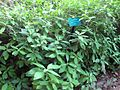 Gardenology.org-IMG 2652 ucla09.jpg