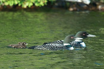 Great Northern Loons (also known as Great Nort...