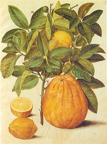 Gc9 citrus limonum and decumana.jpg