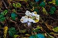 Geelwitte russula (Russula ochroleuca). Locatie, Hortus (Haren, Groningen) 02.jpg