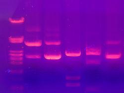 dye used in electrophoresis