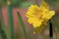 Gelbe Narzisse (Narcissus pseudonarcissus).png