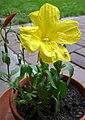 Gemeine Nachtkerze - Oenothera biennis.jpg