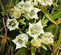Gentiana algida (flower s2).JPG