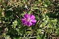 Geranium-sanguineum-flower.jpg