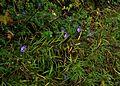 Geranium wallichianum Buxton's Blue ^ Amsonia hubrichtii hybrid - Flickr - peganum.jpg