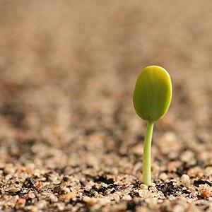 Germinating seedling