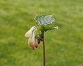 Gewone smeerwortel (Symphytum officinale) 05.JPG