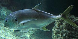 Carangidae - Crevalle jack, Caranx hippos