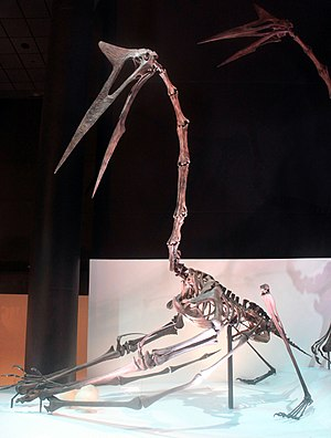 Quetzalcoatlus - Restored skeleton in quadrupedal stance, Houston Museum of Natural Science