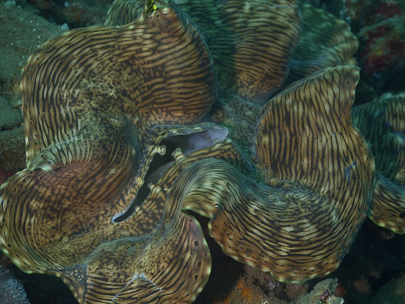 File:Giant Clam (6997585549).jpg