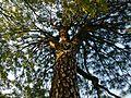 Giant Tree - panoramio.jpg