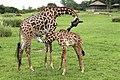 Giraffe (22432413908).jpg
