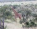 Giraffe chews cud (28966429918).jpg