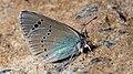 Glaucopsyche alexis - Green-underside blue - Голубянка небесная (48127228731).jpg
