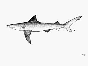 River shark - Image: Glyphis gangeticus